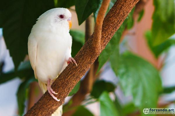 Diode, a Red-Eyed Albino Parakeet