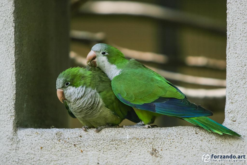 Parakeets Preening