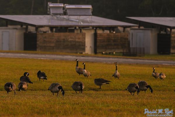Geese Jamboree