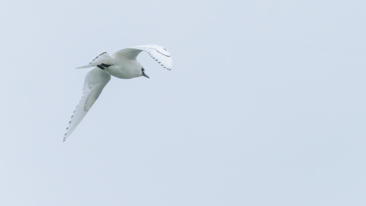 Ivory Gull - Pagophila eburnea - Ismåge - Hanstholm harbour, North Jylland, Denmark, 27. December 2013