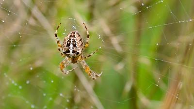 September - Døden lurer - Korsedderkopperne er flotte nu. - Araneus diadematus - European Garden Spider