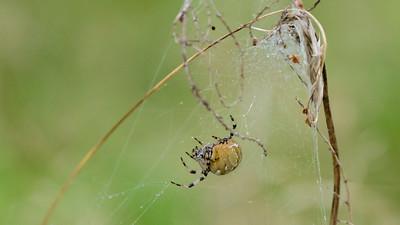 September - Kvadratedderkop - Araneus quadratus - Four-spot Orb Weaver. Kvadratedderkoppen er større end Korsedderkopperne.