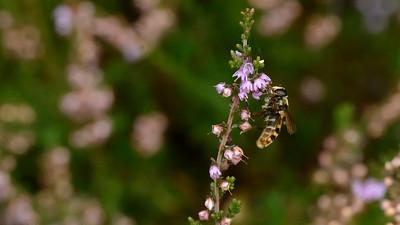 September - Brummer og efterligner en hveps, men er kuns en hyggelig svirreflue på jagt efter lyngnektar.