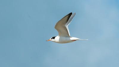 August. - Fjordterne, ungfugl - Common tern, juvenile - Grenen
