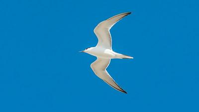 August. - Havterne, ungfugl - Arctic Tern, juvenile - Grenen