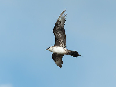 August. - Alm. Kjove, ungfugl i fældning - Arctic Skua, immature in moult - Grenen