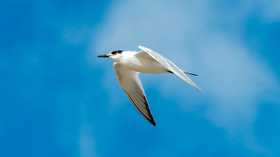 August. - Splitterne, ungfugl - Sandwich Tern, juvenile - Grenen
