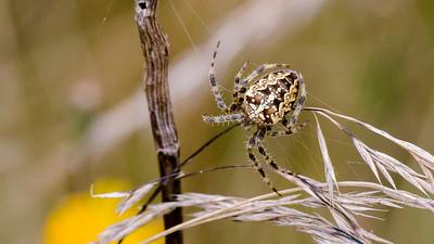 September - Korsedderkop. - Araneus diadematus - European Garden Spider