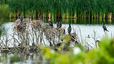August. - Skarver - Cormorants - Skarvesøen på Grenen