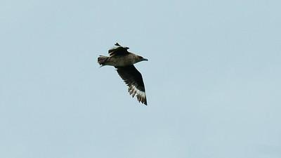 August. - Storkjove, i fjerfældning - Great Skua, mouling - Grenen
