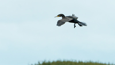 August. - Skarv - Cormorant - Skarvesøen på Grenen