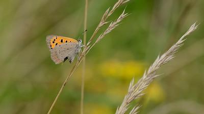 September - Lille Ildfugl ses sent på året - her med afnappet bagvinge, men i live.
