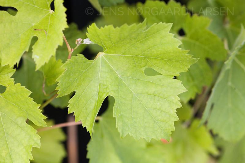 Vinblad