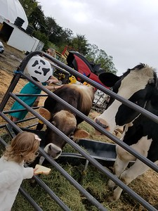 Taylin Boynton, 2, offered slices of bread to Danniel who is flanked by Bodacious the bull. (Photo by Ann Farley - Contributed)