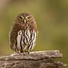 Pygmy Owl - 2