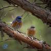 Western Blue Birds