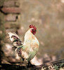 White Rooster, Sremski Jarak, Serbia