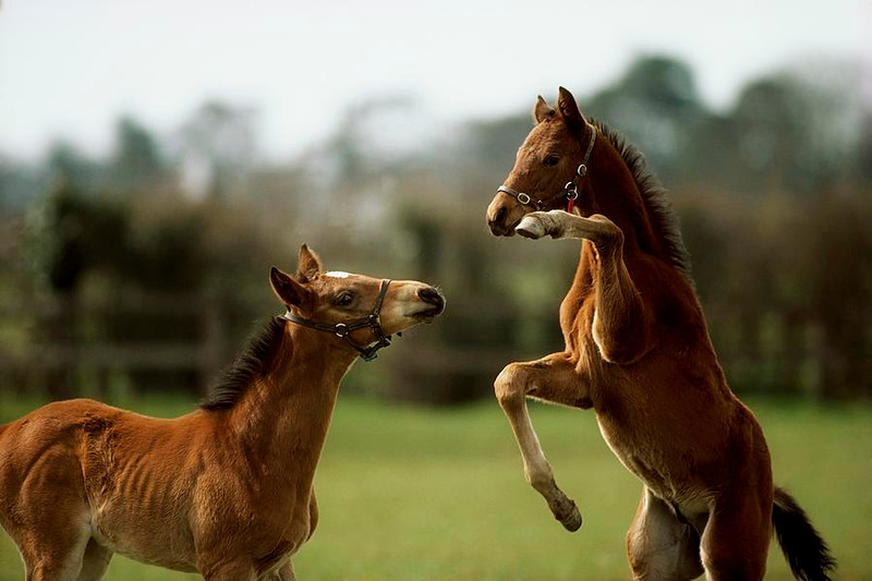 thoroughbred foals playing