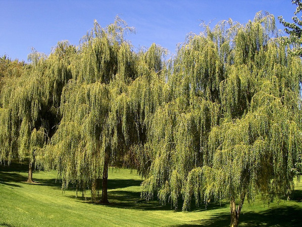 "willows comprising ""willow bench"""