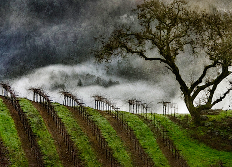 vineyards on a misty winter day