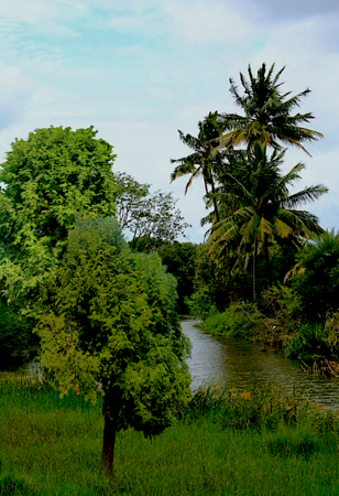 pond amid tamarind trees