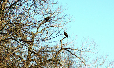 Bald Eagles near Hanover