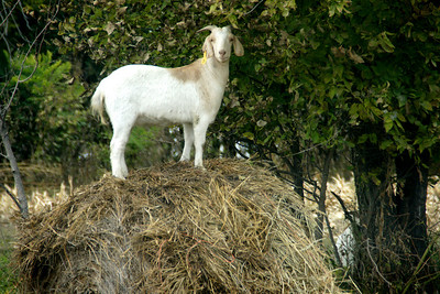 Goat on hay bale - northwest Atchison County