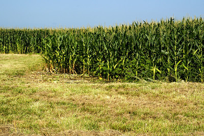 Cornfield - southern Franklin County