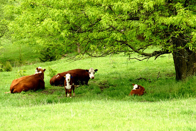 Cattle in pasture - northern Leavenworth County
