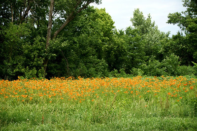 Field of orange day lillies near Dunlap