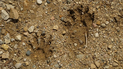 Racoon footprints in mud