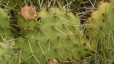 Prickly Pear Cactus - northern Wallace County