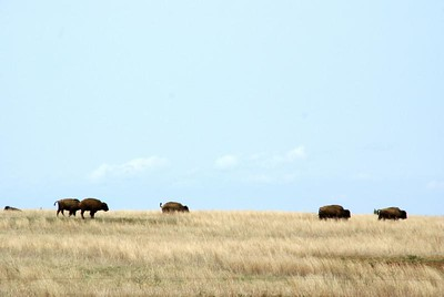 Buffalo in pasture - southwest Barber County