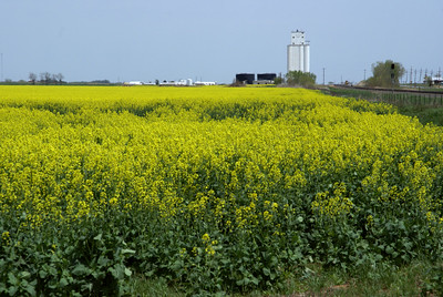 Field of canola near Hazelton