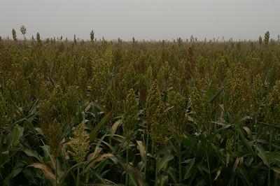 Field of milo