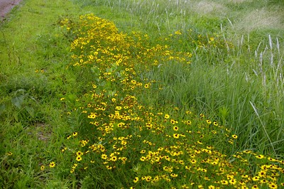 Black eyed susan wildflowers - eastern Harper County