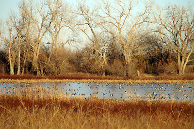 Geese on Patterson Lake - western Harvey County