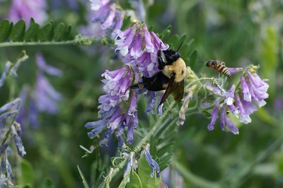 Bees pollinating wildflowers - northern Pratt County