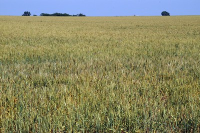 Field of Winter Wheat - Reno County