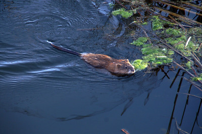 Muskrat swimming in Spring Creek