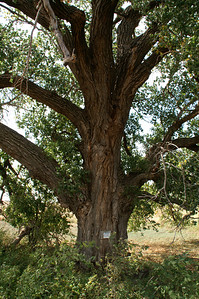 Large cottonwood tree - southeast Stafford County