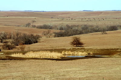 Cattle grazing on open range west of Matfield Green