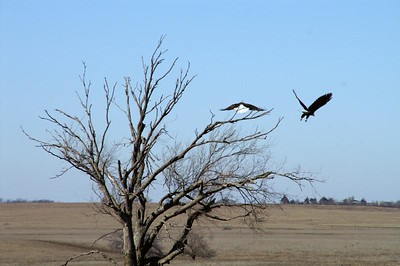 Bald eagles - western Chase County