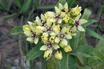 Milkweed along road - southeast Elk County