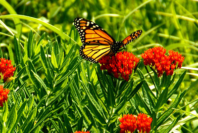 Monarch butterfly on milkweed - southwest Greenwood County
