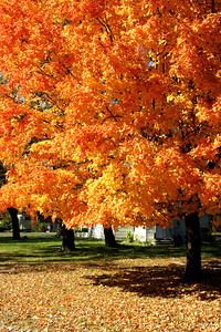 Fall foliage in maple tree in Oswego