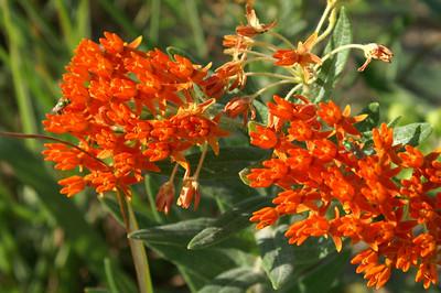 Orange mildweed