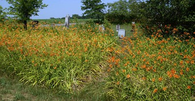 Orange day lillies at Schaede Cemetery - southeast Woodson County