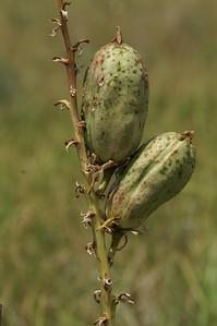 Yucca pods near Clark State Fishing Lake