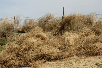 Tumbleweeds piled up along barbed wire fence on RD 22 - southeast Grant County